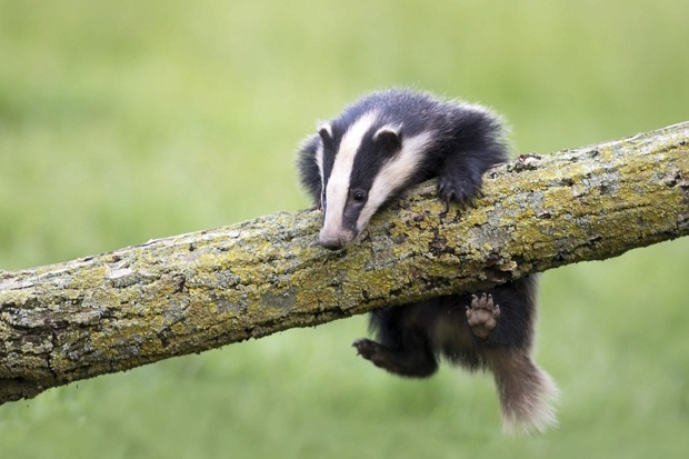 What does a badger look like